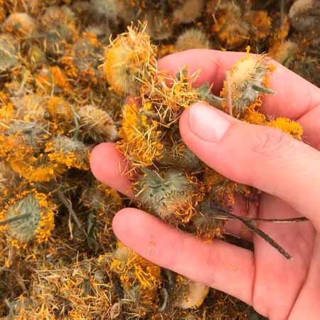 secar las flores y hojas de arnica montana